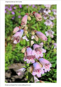"Penstemon ""mother of Pearl"""