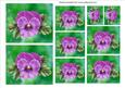 Mauve Pansy Toppers