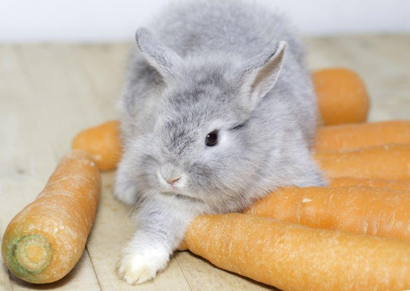 Tiny baby rabbit unsure about carrots