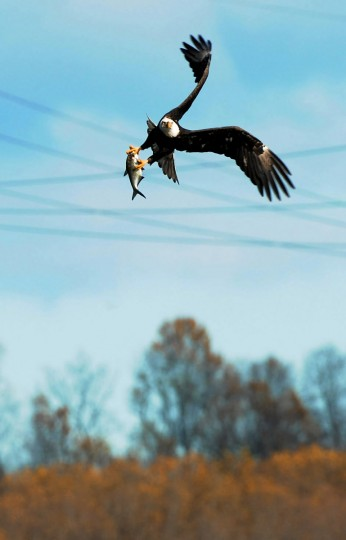 A bald eagle flies with a fish in its talons at the Conowingo Hydroelectric Dam. Saturday is Conowingo Eagles Day at the dam pavilion. Kim Hairston/Baltimore Sun