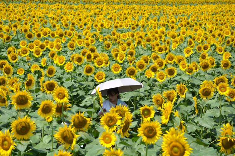 A woman walks through a maze of sunflowers growing in a field during a three-day sunflower festival in the town of Nogi, Tochigi prefecture, some 70 kms north of Tokyo on July 27, 2014. A total of some 200,000 sunflowers welcomed guests for the summer festival, an annual draw for the small town. (Nogi Kazuhiro/AFP/Getty Images)