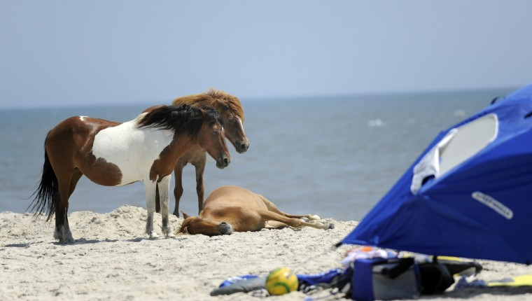 Ponies share the beach with a tent and equipment on a campground beach at Assateague National Seashore. (Barbara Haddock Taylor/Baltimore Sun)