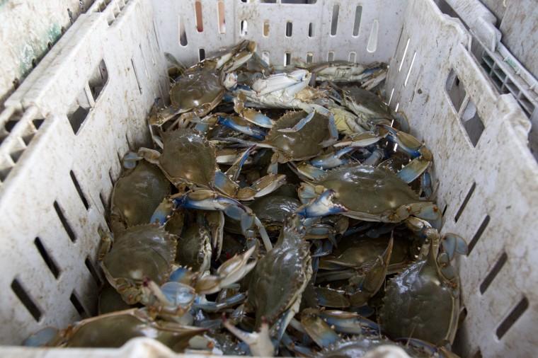 Crabs caught by Tony Conrad's boat while crabbing off of Galloway Creek Marina. (Jen Rynda/BSMG)