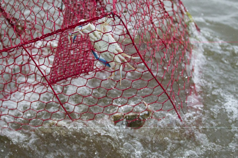 Crabs are pulled into Tony Conrad's boat while crabbing off of Galloway Creek Marina in Bowley's Quarters. (Jen Rynda/BSMG)