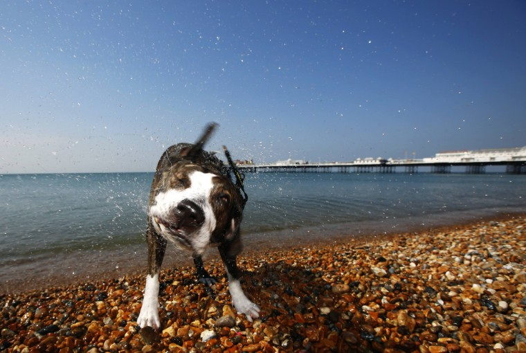 Tosta, a Staffordshire bull terrier cross, shakes off water after a swim in the sea during the hot summer day by Brighton pier in southern England July 23, 2014. (Luke MacGregor/Reuters)