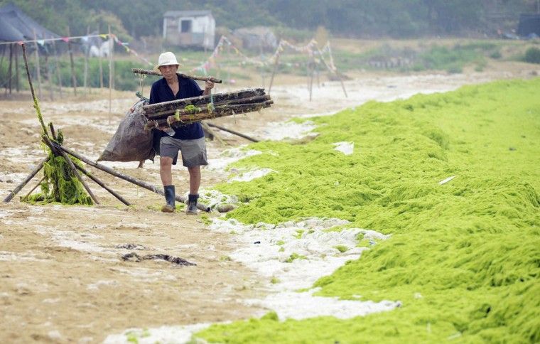 A garbage collector walks next to an algae covered beach in Qingdao, Shandong province, July 31, 2014. REUTERS/China Daily