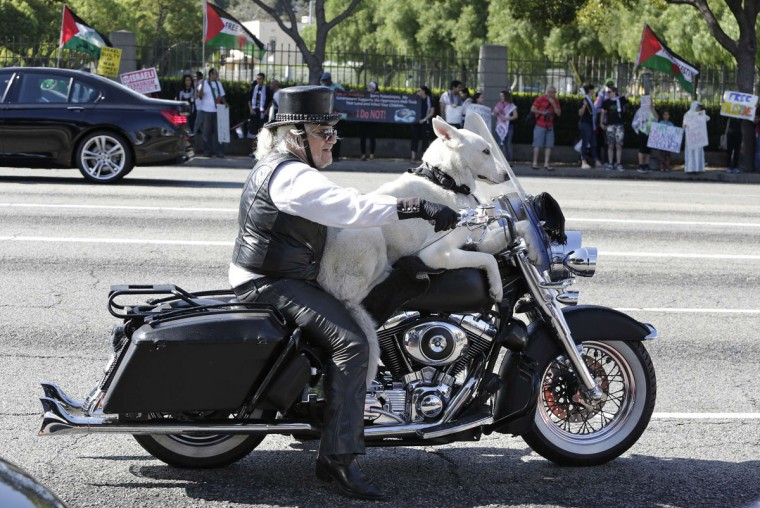 Jeremiah Gerbracht rides his Harley Davidson motorcycle with his dog on Wilshire Boulevard in Los Angeles, California July 20, 2014. Gerbracht, a retired dog trainer, won a court ruling in 1996, allowing him to ride his motorcycle with a dog on board. (REUTERS/Jonathan Alcorn)