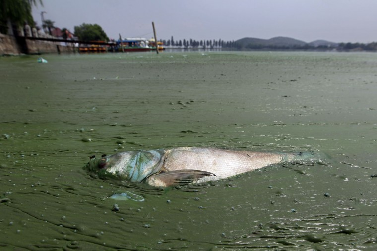 A dead fish floats in water filled with blue-green algae at the East Lake in Wuhan, Hubei province on August 20, 2012. (REUTERS/Stringer)