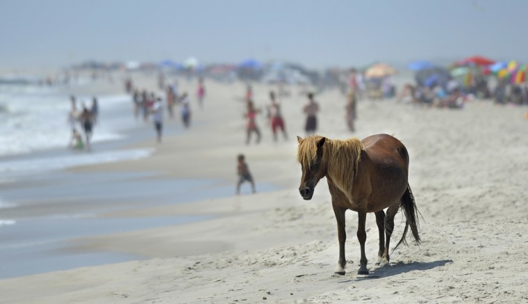 A pony stands on the beach at Assateague National Seashore with lots of beach goers in the background. staff (Barbara Haddock Taylor/Baltimore Sun)