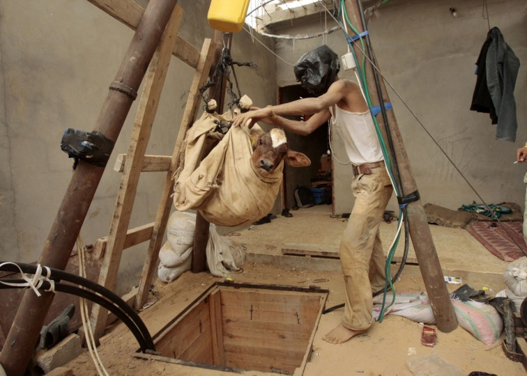 A Palestinian smuggler hauls a calf out from a tunnel that goes beneath the Egyptian-Gaza border on October 24, 2008. (REUTERS/Mohammed Salem)