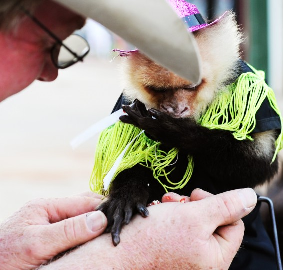 Sam the monkey eats a piece of a strawberry Pop-Tart out of the hand of his owner and trainer, Tim Lepard, before throwing the first pitch at Ripken Stadium during an Aberdeen Ironbirds game, Thursday, July 10, 2014. (Jon Sham/BSMG)