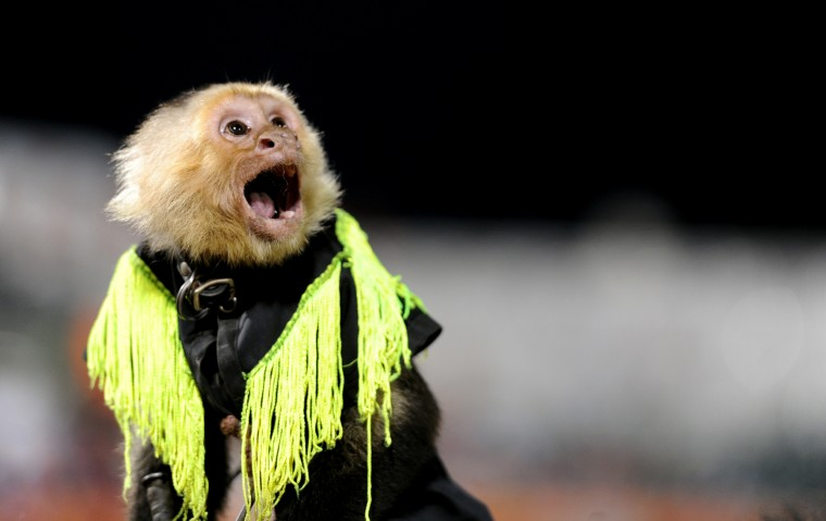 Sam the monkey lets out a yawn toward the end of the show at Ripken Stadium in Aberdeen on Thursday, July 10, 2014. (Jon Sham/BSMG)