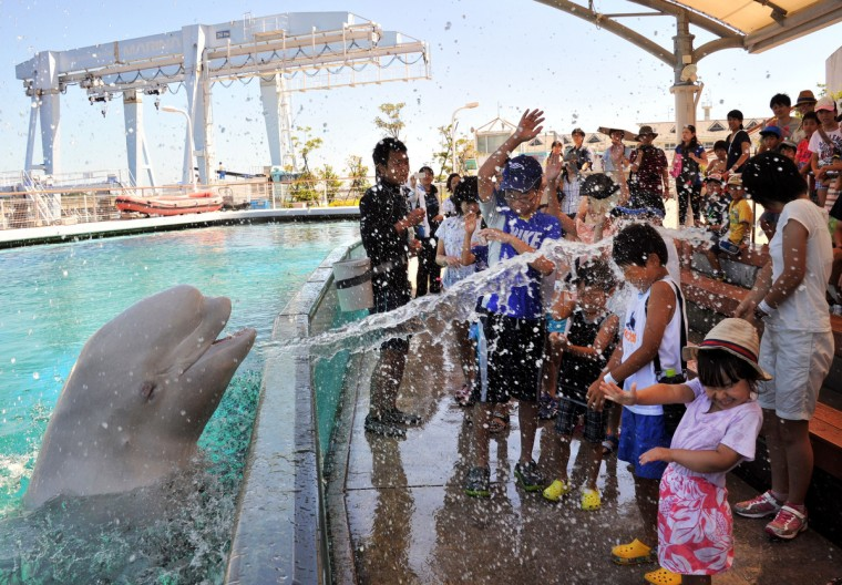 A beluga whale sprays water onto visitors at a summer attraction at the Hakkeijima Sea Paradise aquarium in Yokohama, suburban Tokyo on August 6, 2014. Tokyo's temperature climbed over 35 degree Celsius on August 6 following a heatwave in the area. (Yoshikazu Tsuno/Getty Images )