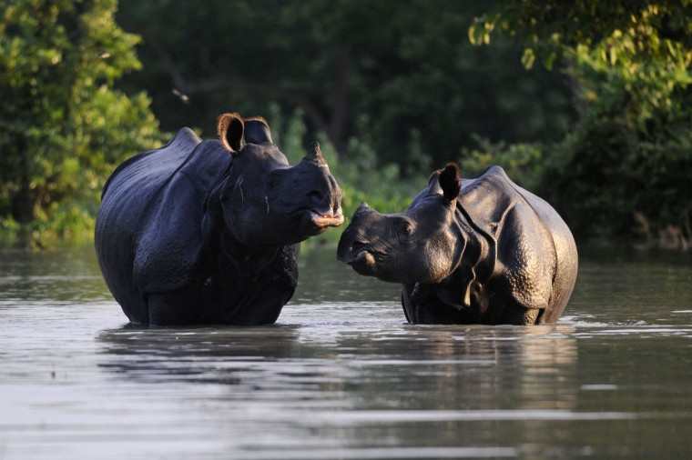 An Indian one-horned rhinoceros and its calf wade through flood waters at a submerged area of the Pobitora wildlife sanctuary in India's northeastern Assam state. About 80 percent of the sanctuary is currently under flood waters caused by the overflowing Brahmaputra river. Forest authorities have strengthened security as poachers take advantage of the floods to hunt animals, particularly one-horned rhinos which, during the floods stray outside the park perimeter. Nearly 1.2 million people are currently affected by the floods. (Biju Boro/Getty Images)