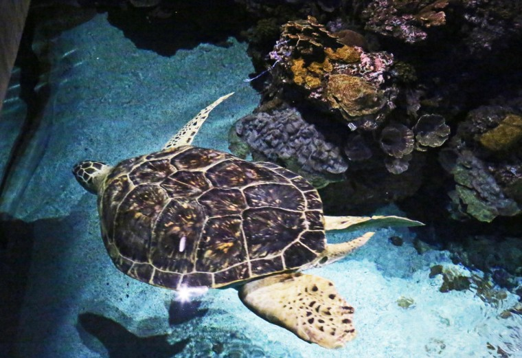 Calypso, the 500lb sea turtle swims in the Black Tip Reef Exhibit at the National Aquarium. (Kaitlin Newman for Baltimore Sun)