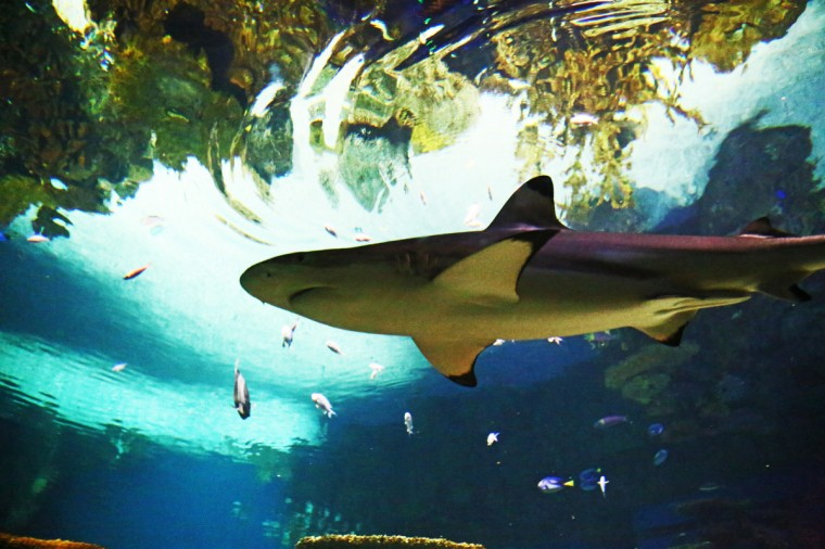 A Black Tipped Reef Shark swims on by, aptly named for its black tipped fin. (Kaitlin Newman for Baltimore Sun)