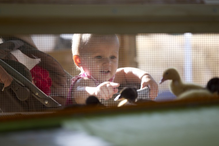 Jaelyn Eakle, 18 months, of Marriottsville looks at the ducklings in the agriculture education tent. (Jen Rynda/BSMG)