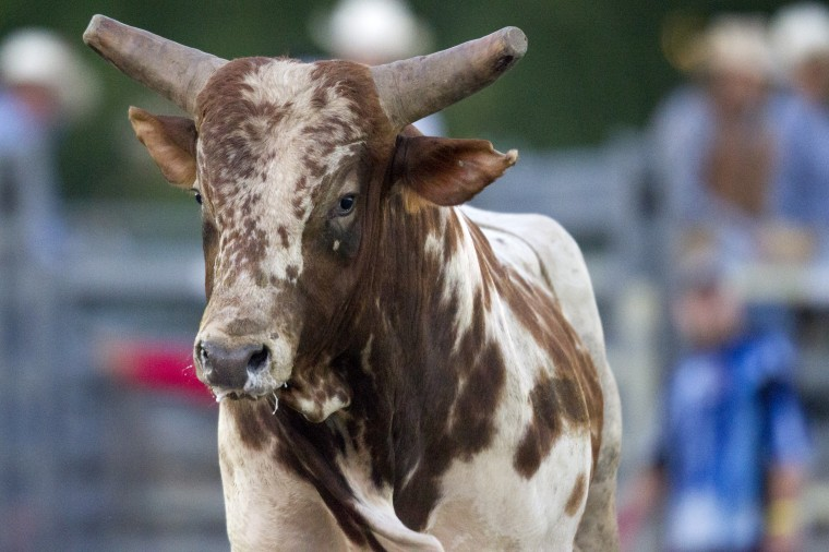 A bull looks on during the Bull Blast at the 69th Annual Howard County Fair in West Friendship on Monday, August 4, 2014. (Jen Rynda/BSMG)