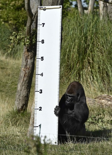 """""""Kimbuka"""", a western lowland gorilla holds a height chart that was placed in his enclosure at London Zoo in London August 21, 2014. The annual weigh-in which includes waist and height measurements is conducted for the general wellbeing of the animals, and to help detect pregnancies of endangered species as part of the Zoo's international breeding programmes. (Toby Melville/Reuters)"""