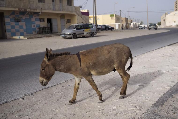 A donkey walks on a street in downtown Nouadhibou June 25, 2014. (Joe Penney/Reuters)