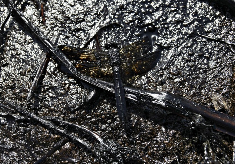 A dead dragonfly, covered in oil, lies on the shore of an irrigation canal that flows into the river San Juan in Cadereyta August 22, 2014. (REUTERS/Daniel Becerril)