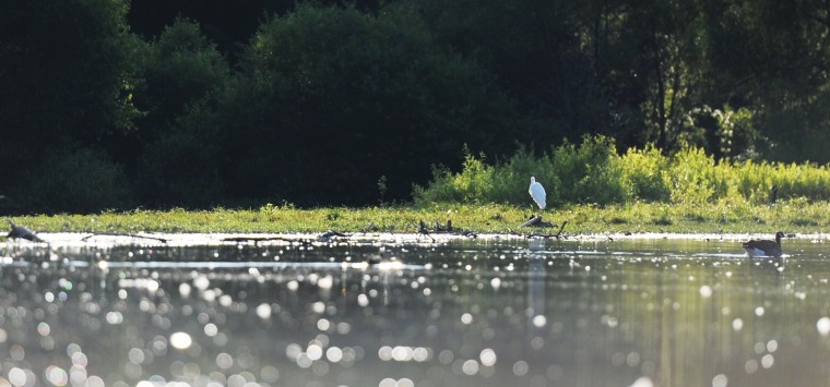Far off on the shore of the Piney Run Reservoir, a great egret can be seen perched on a piece of wood during a sunset kayak tour led by naturalist Joel Beckwith Saturday, Aug. 16, 2014 in Sykesville. (Jon Sham/BSMG)