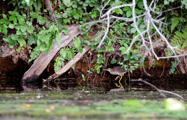 A green heron lurks beneath branches along the side of the Piney Run Reservoir in Sykesville during a sunset kayak tour on Saturday, Aug. 16, 2014. (Jon Sham/BSMG)