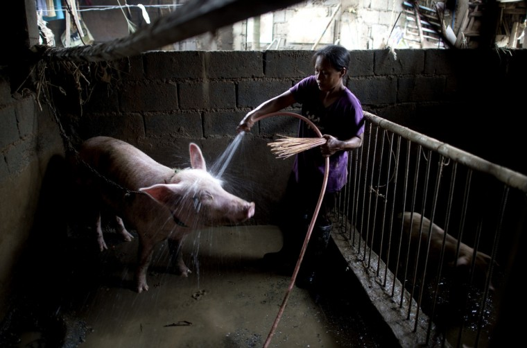 A woman sprays water on a pig inside a pig sty on the first floor of her house that was flooded in heavy rains brought by Tropical Storm Fung-Wong, at Banaba village in Marikina City, suburban Manila,. Thousands of people displaced by floods triggered by tropical storm Fung-Wong returned to their mud-caked homes in the Philippine capital as the death toll from the disaster rose to ten, officials said. (Noel Celis/Getty Images)