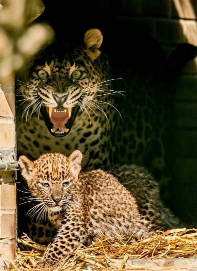 Y alla, protects one of her two young Sri Lankan Leopard cubs at the zoo in Maubeuge. The two-month-old cubs are the first Sri Lankan Leopards to be born in a European zoo this year. (Philippe Huguen/Getty Images)