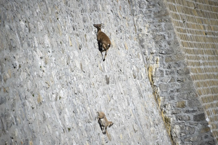 A female Alpine Ibex, a species of wild goat that lives in the mountains of the European Alps, licks stones on a vertical dam (up to 80°) at the lake Cingino, at 2200 m altitude, with her young near Antrona Piana. At summer time, Alpine Ibexes use to come on the wall to lick the salt that seeps from the stones. (Olivier Morin/Getty Images)