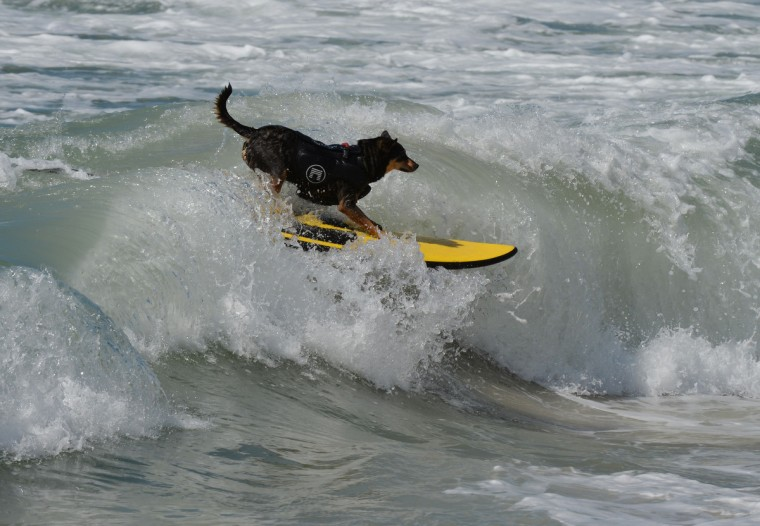 Surfer Dog Abbie Girl rides a wave in the Large division during the 6th Annual Surf Dog competition at Huntington Beach, California on September 28, 2014. (Mark Raltson/Getty Images)