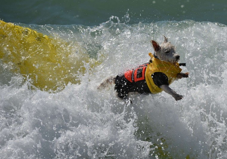 Surfer Dog Joey wipes out in the small dog division during the 6th Annual Surf Dog competition at Huntington Beach, California on September 28, 2014. (Mark Raltson/Getty Images)