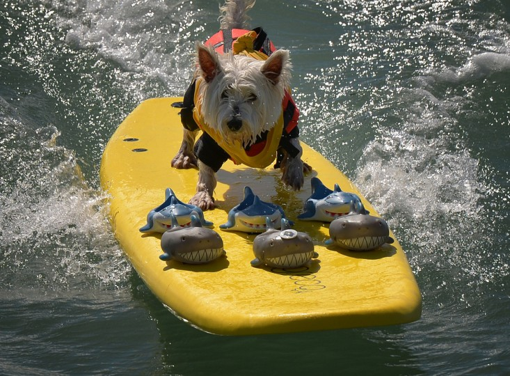 Surfer Dog Joey rides a wave in the small dog division during the 6th Annual Surf Dog competition at Huntington Beach, California on September 28, 2014. (Mark Raltson/Getty Images)