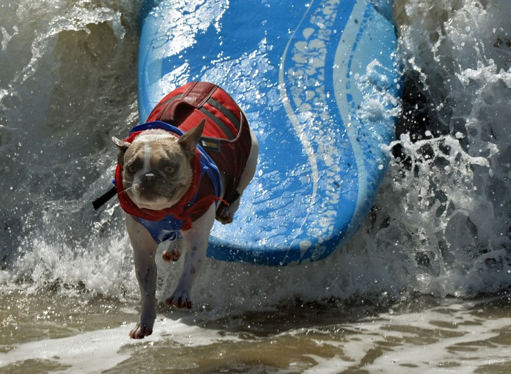A Surfer Dog wipes out in the small dog division during the 6th Annual Surf Dog competition at Huntington Beach, California on September 28, 2014. (Mark Raltson/Getty Images)