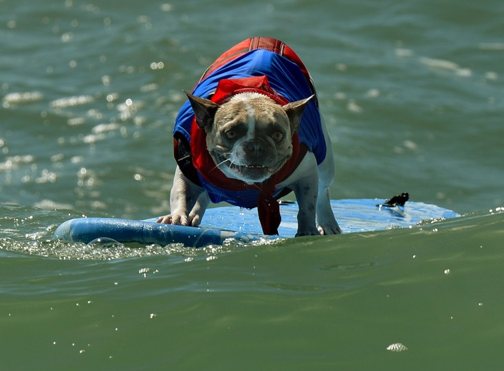 A Surfer Dog rides a wave in the small dog division during the 6th Annual Surf Dog competition at Huntington Beach, California on September 28, 2014. (Mark Ralston/Getty Images)