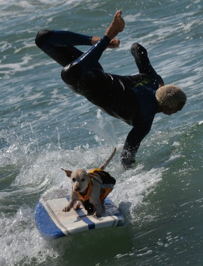 Surfer Dog Sugar and owner Ryan Rustan wipe out in the tandem heat during the 6th Annual Surf Dog competition at Huntington Beach, California on September 28, 2014. (Mark Ralston/Getty Images)