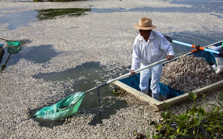 """Fishermen collect dead """"popocha"""" fish at the lagoon of Cajititlan in Tlajomulco de Zuniga, Jalisco State, Mexico, on September 1, 2014. At least 48 tonnes of fish have turned up dead in a lagoon in western Mexico and authorities are investigating whether a wastewater treatment plant is to blame. Officials in the state of Jalisco said late Sunday it was the fourth case of mass deaths at the Cajititlan lagoon this year in the town of Tlajomulco, south of Guadalajara. (AFP PHOTO/Getty Images/Hector Guerrero)"""