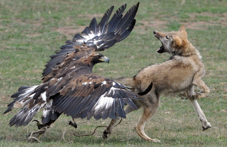 A golden eagle attacks a chained wolf during the first World Nomad Games in the Kyrchin (Semenovskoe) gorge, some 300 km from Bishkek on September 11, 2014 . (Vyacheslav Oseledkov/AFP/Getty Images)