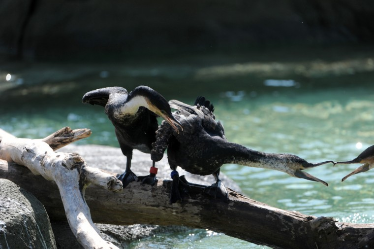 White-breasted cormorants in the new Penguin Coast exhibit at The Maryland Zoo in Baltimore. (Kim Hairston/Baltimore Sun)