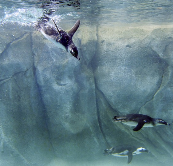 Young African penguins, the first group of penguins moved to the new Penguin Coast, swim by the underwater windows in the Education Center. Penguin Coast includes 185,000 gallons of water in the 1,920 square foot exhibit. (Kim Hairston/Baltimore Sun)