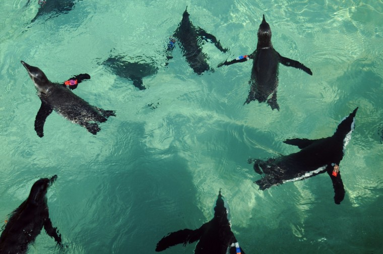 The first group of African penguins relocated to the new Penguin Coast exhibit are acclimating to their surroundings. Visitors to The Maryland Zoo in Baltimore will have a 360-degree view of the exhibit and will able to view the birds from above and see them swim underwater. (Kim Hairston/Baltimore Sun)