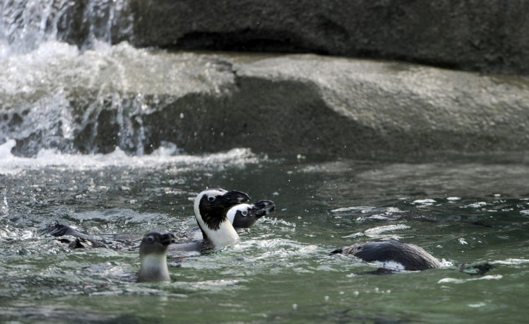The initial group of African penguins are relocated to the new Penguin Coast exhibit and get acclimated to their surroundings. (Kim Hairston/Baltimore Sun)