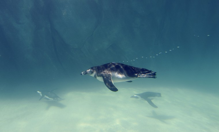 African penguins swim by an underwater window in Penguin Coast. Kim Hairston/Baltimore Sun