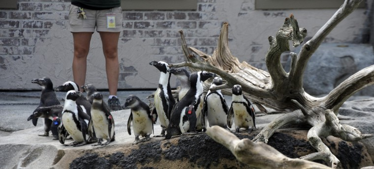 African penguins relocated to the Penguin Coast exhibit explore their new surroundings on their first day outside. (Kim Hairston/Baltimore Sun)