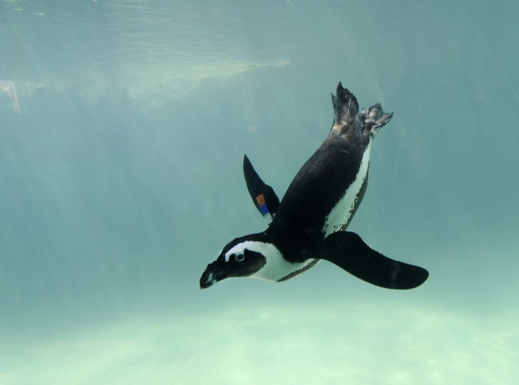An African penguin swims by an underwater window in Penguin Coast. Kim Hairston/Baltimore Sun