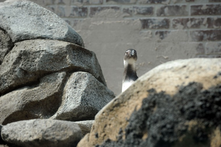 "One bird from the first group of African penguins relocated to the new Penguin Coast exhibit looks at its surroundings from behind ""rocks."" (Kim Hairston/Baltimore Sun)"