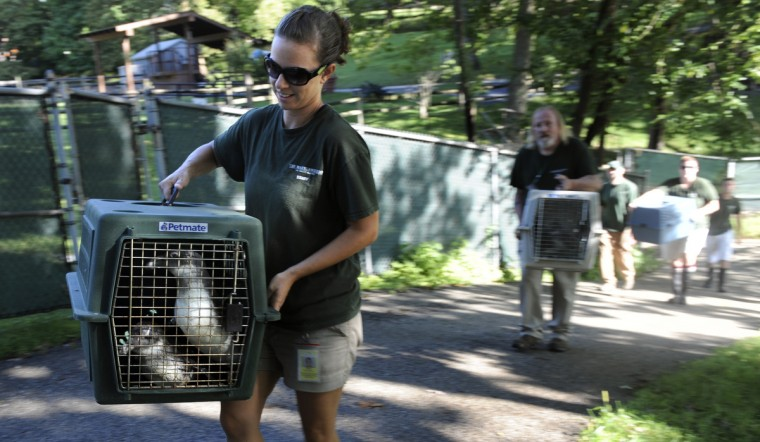 Jen Kottyan, avian collection manager at the Maryland Zoo in Baltimore, is followed by other keepers as they carry members of the first group of African penguins from Rock Island. They are loaded into a car and driven a short distance to Penguin Coast. (Kim Hairston/Baltimore Sun)