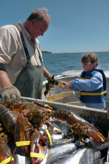Banded lobsters are held by Captain Larry Knapp as he conducts a daily catch for tourists on the Friendliest Catch Lobster Tours, aboard an authentic 42' lobster boat. (Karl Merton Ferron/Baltimore Sun)