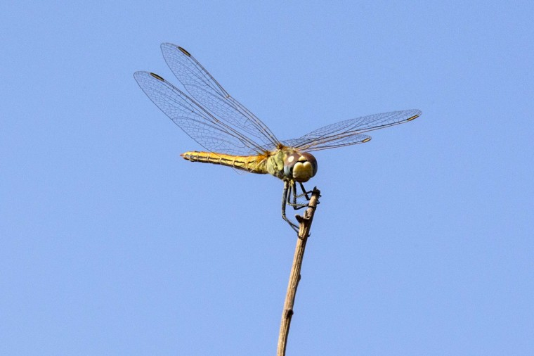 A Southern Darter dragonfly, Sympetrum Meridionale, is pictured in the Irus Argaman Reserve, in the Israeli Mediterranean coastal city of Netanya. (Jack Guez/Getty Images)