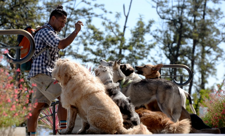 On the steps of the Griffith Observatory, a man trains a small pack of dogs.